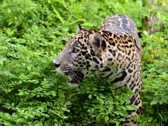 Estas son las especies latinoamericanas que están amenazadas por el comercio ilegal con Asia