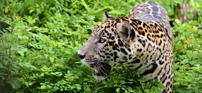 Jaguar en la naturaleza.