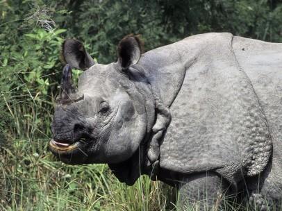 Ejemplar de rinoceronte de un solo cuerno (Rhinoceros unicornis)
