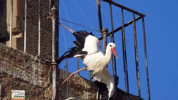 Cigüeña atrapada en febrero en una iglesia de Lleida
