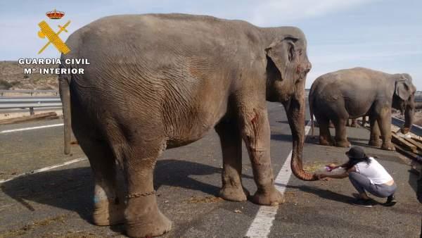 Elefanta herida tras el accidente en Albacete