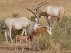 Gacelas africanas