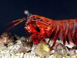 Gamba mantis
