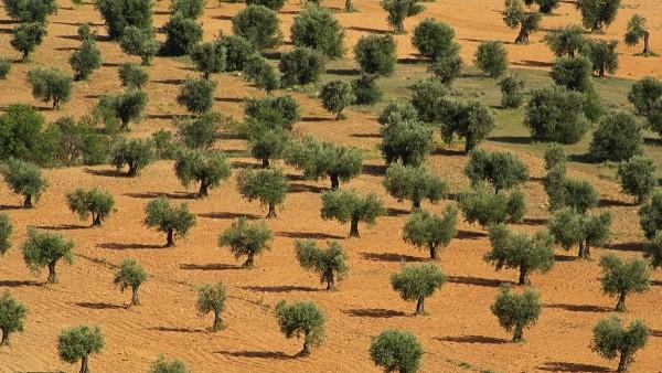 Olivar en Extremadura.
