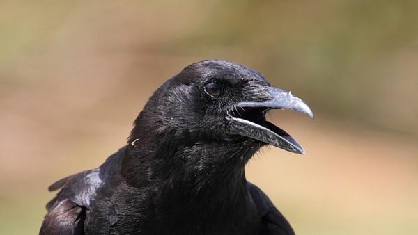 Ejemplar de cuervo