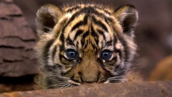 Cachorro de tigre