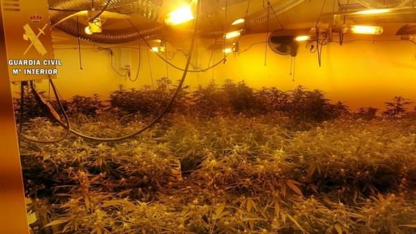 Plantación marihuana en Guareña