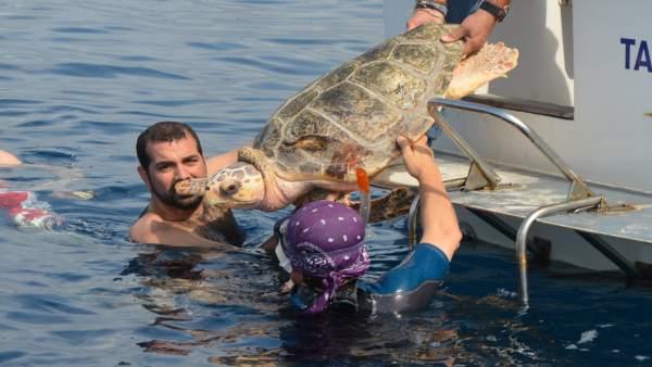 Un nou estudi proposa mesures per a garantir el futur de les tortugues careta en el Mediterrani