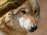Lobo en el Parque salvaje Tripsdrill