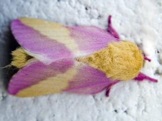 Mariposa rosada del arce