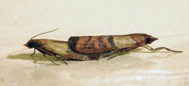 Dos polillas <em>Plodia interpunctella</em> copulando, la especie que se analizó para el estudio