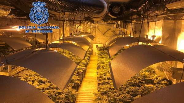Desmantelado un cultivo de marihana en Alicante