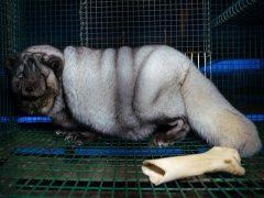 Denuncian la cría de zorros obesos para obtener más piel