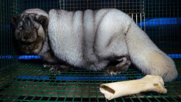 Denuncian la cría de zorros obesos por su piel