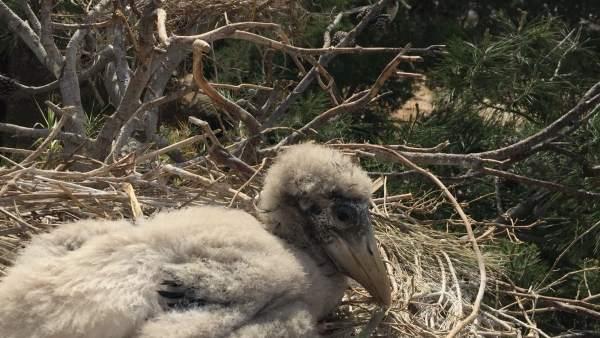 Imagen del polluelo de marabú recién nacido