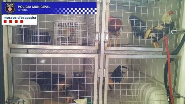 Criadero de gallos para peleas ilegales hallado en Girona