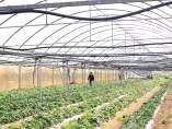fresas de agricultura ecológica