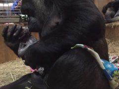 El enternecedor nacimiento de un gorila en un zoo