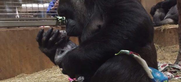 El parto de una gorila en un zoo
