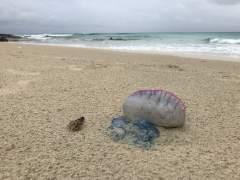 Altea prohíbe el baño en sus playas por una falsa medusa muy venenosa