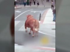 Un Ertzaintza mata de un disparo a un buey desorientado en las calles de Llodio