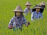 Trabajo en el arrozal