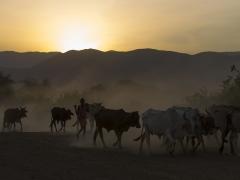 Vacas masái