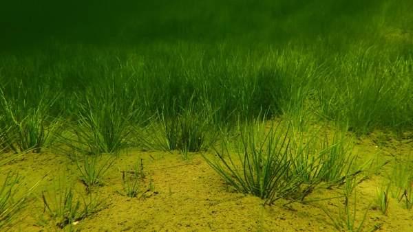 Plantas subacuáticas