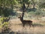 """El virus """"zombie"""" de los ciervos podría propagarse a los humanos en los próximso años."""