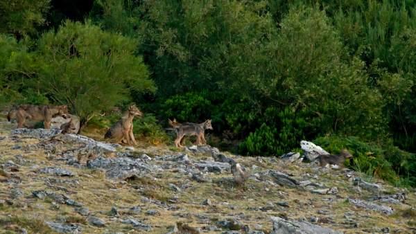Un grupo de lobos en el monte.