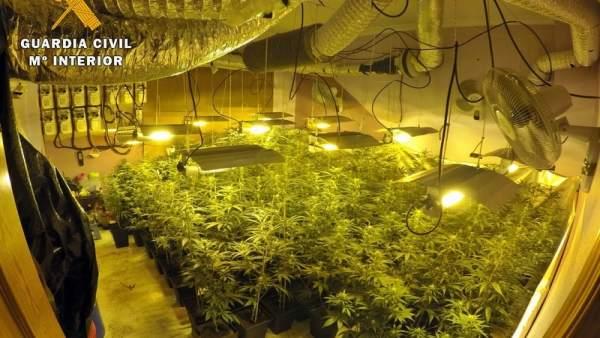 [Badajoz] 'La Guardia Civil Interviene 150 Plantas De Marihuana En Un Domicilio
