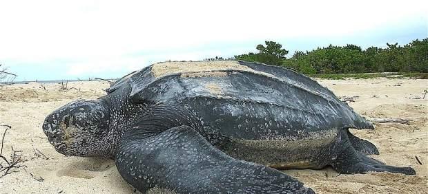 Aparece el cadáver de una tortuga laúd en la playa de Xagó y el de un cachalote en el puerto de ...