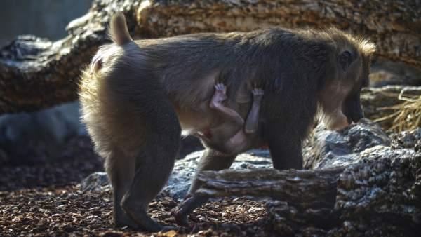 Naix el segon dril d'aquesta primavera en Bioparc, un dels primats més amenaçats d'Àfrica