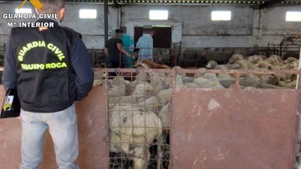 [Cáceres] ' La Guardia Civil Detiene A Un Ganadero Por Denunciar Falsos Robos Pa