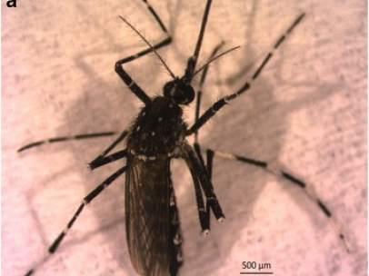 Mosquitos 'Aedes vittatus'