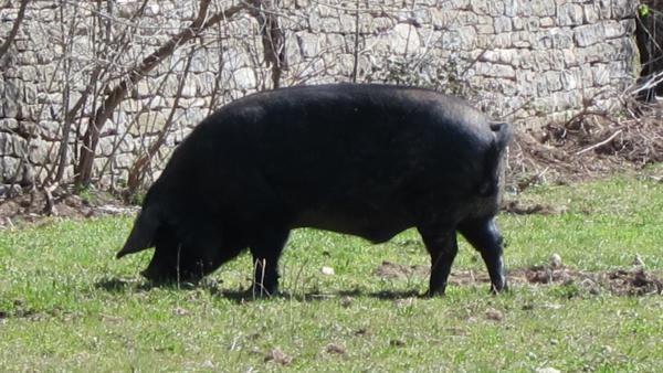 Cerdo suelto