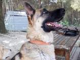 Loba es una pastor alemán nacida en 2013. Sociable y de buen carácter, pero no apta con gatos. Busca hogar en Madrid. Contacto: acunrmadrid@gmail.com