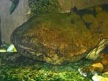 Ejemplar de salamandra china, el anfibio más grande del mundo