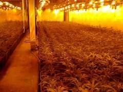 Cultivo desmantelado en Lebrija