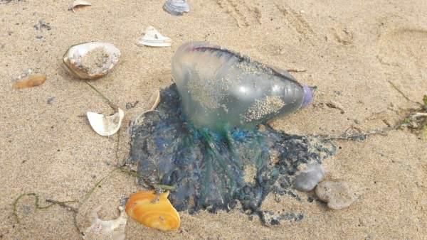 Medusas de tipo 'carabelas portuguesas' en las costas de Huelva