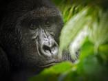 Gorila de montaña en el Parque Nacional de Virunga