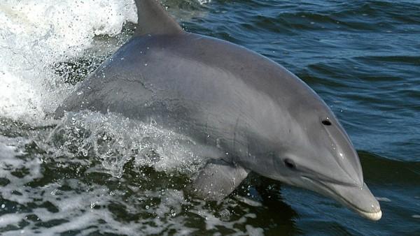 Delfín mular