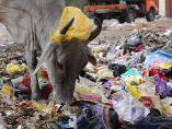 Vaca entre plásticos