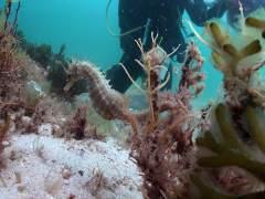 Descubren una nueva especie de caballito de mar del tamaño de un grano de arroz