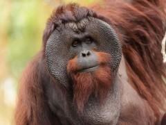 10 cosas que no sabías sobre los orangutanes