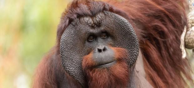 Ejemplar de orangután de Borneo macho