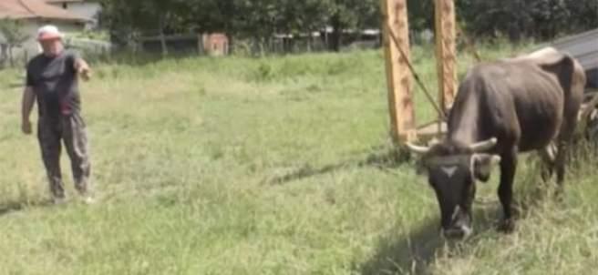 La vaca Penka