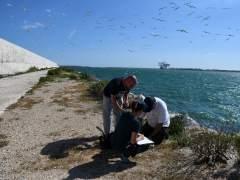 Operación de anillamiento de crías de de gaviota corsa.