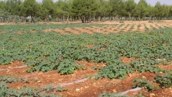 Campo De Melón