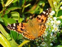 Esta mariposa recorre 12.000 kilómetros al año y atraviesa el desierto del Sáhara